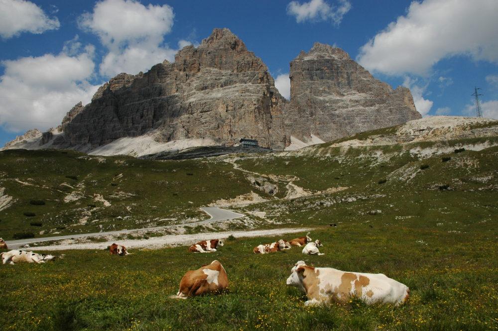 トレ・チーメ・ディ・ラヴァレードアウロンツオ小屋。放牧された牛がのんびりしていた。北イタリア・世界遺産。