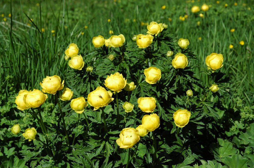 ドロミテの歩き方、ドロミテトレッキング、ベルヴェデーレに咲く花