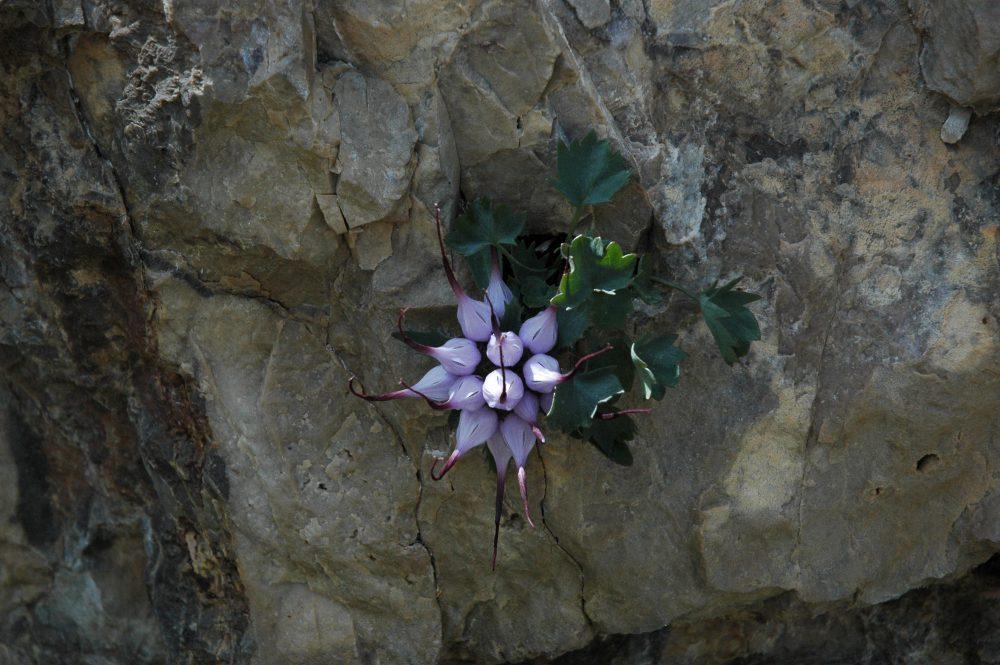 ドロミテトレッキングチヴェッタで見た花。ここ以外で見たことがない珍しい花。イタリアではRaponzoloと言うそうだ。伊日辞書で調べると「かぶらぎきょう」とある。桔梗の仲間?日本でも見られるのだろうか。