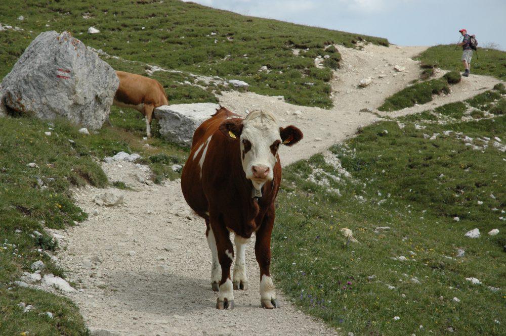 トレ・チーメトレッキング。終盤。ここを過ぎればゴールというところで、正面から強面の牛が立ちはだかってきました。